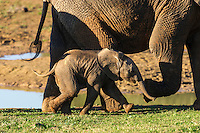 African Elephant calf climbing up a steep embankment and helped by its mother and aunt, African Elephant, Addo Elephant National Park, Eastern Cape, South Africa
