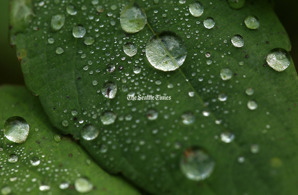 Water droplets shine on this leaf at Scriber Creek Park in Lynnwood. The park features a small area of wetlands thick with plant life.<br />