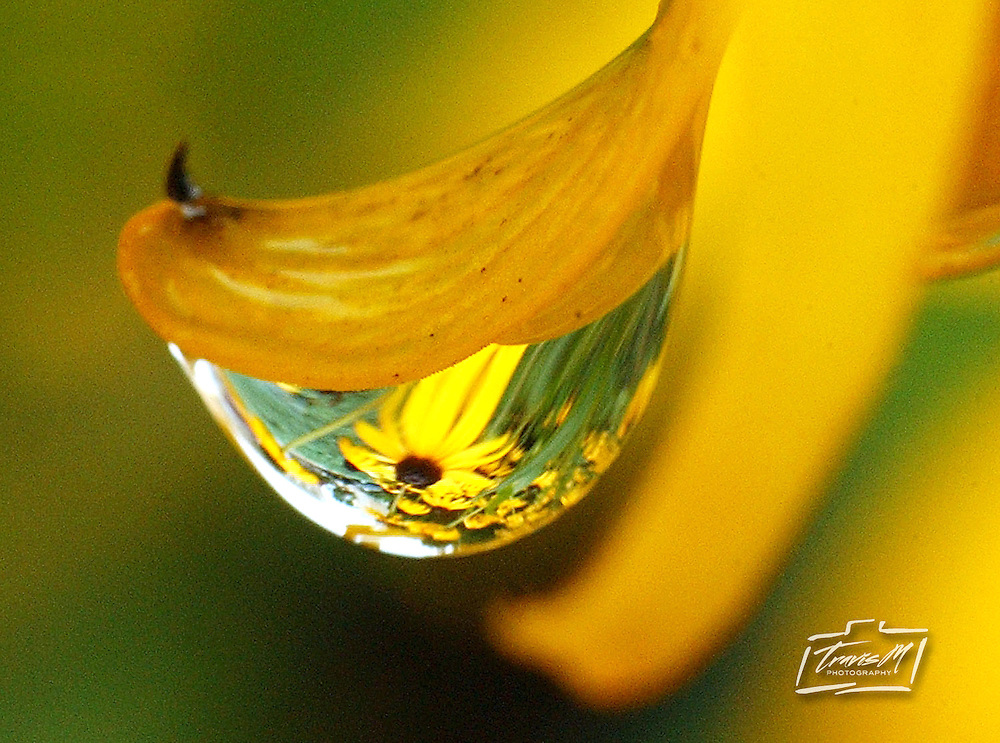 The refraction of a Black Eyed Susan flower is seen through a droplet of rain that clings to a petal during a rain shower Friday, July 23, 2004 in Hutchinson, Kan.. The recent rains have cooled high temperatures of the region from the upper 90's to the low 70's Friday. (AP Photo/The Hutchinson News, Travis Morisse)