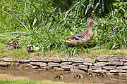 Female mallard duck and ducklings in stream in The Cotswolds, Oxfordshire, England, United Kingdom