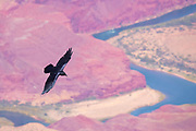 A raven (Corvus corax) flies over the Colorado River at the entrance to the Grand Canyon at Desert View, Grand Canyon National Park, Arizona.