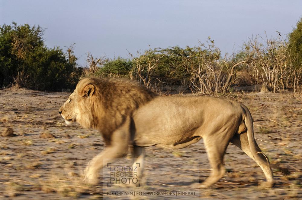 Impressionen aus der Region Savuti im Chobe Nationalpark mit dem Löwenrudel, das für seine Jagd auf junge Elefantenbullen bekannt ist.