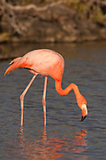 Greater Flamingo (Phoenicopterus ruber) near Bachas Beach on Santa Cruz Island (Indefatigable Island), Galapagos Islands, Ecuador.
