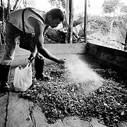 A coca farmer adds lime to shredded coca leaves before soaking them in diesel as part of the process used to extract the alkaloid that  produces cocaine.<br />