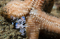 Harlequin shrimps are normally found in pairs.  They feed on starfish, often eating the animal from the tips of the arm inwards to keep it alive for as long as possible.