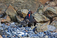 Oystercatcher sheltering chicks in coastal Alaska