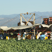 Broccoli plantation workers. Oxnard, CA. USA.