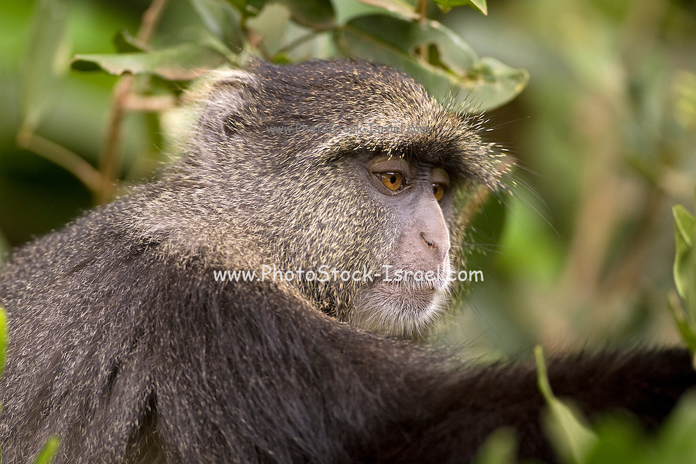 Blue monkey, or samango monkey, (Cercopithecus mitis) in a tree. This monkey lives in troops, deferring to a dominant male (seen here). This primate is quiet and shy, living in the treetops of tropical African forests. It feeds on fruit, leaves and arthropods. Photographed in Tanzania