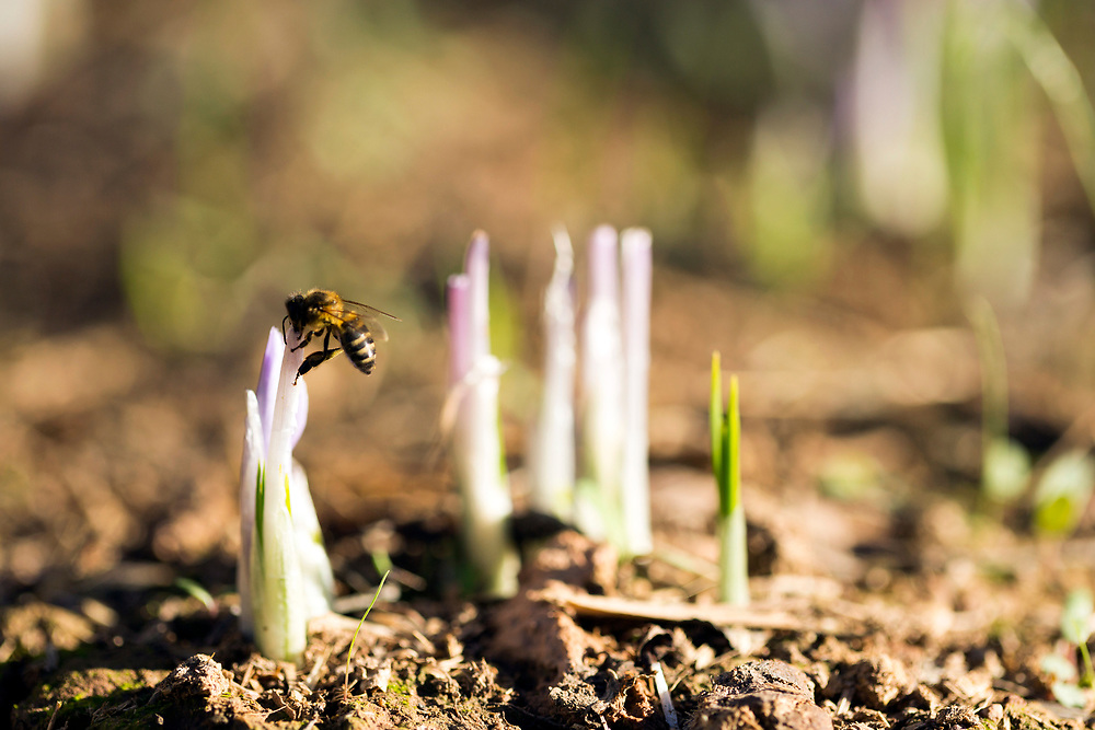 IFRI, MOROCCO - October 28th 2015 - A bee lands on a saffron flower that has already been harvested that day, Taliouine, Morocco