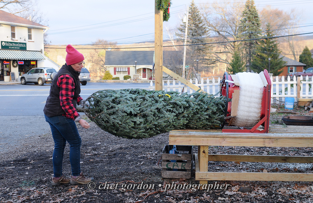 Tammy Garcia bands a Douglas Fir Christmas tree at the Greenwood Lake Garden Center in Greenwood Lake, NY on Monday, November 30, 2015.  © Chet Gordon • Photographer
