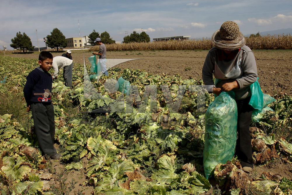 TENANGO DEL VALLE, México.- Productores de lechuga han perdido el cincuenta por ciento de su cosecha debido a las bajas temperaturas que se han registrado en los últimos días, tratan de rescatar lo más que puedan de su producción para no ver mermada su economía. Agencia MVT / Crisanta Espinosa. (DIGITAL)