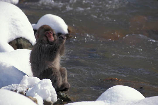 Snow Monkey or Japanese Red-faced Macaque, (Macaca fuscata) At hot springs. Japan.