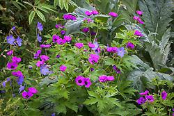 Geranium 'Brookside' with Geranium psilostemon and cardoon at Glebe Cottage. Cranesbill