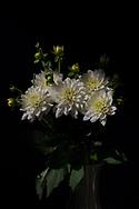 Beautiful white dahlia flowers. Santa Monica, CA 9.26.17