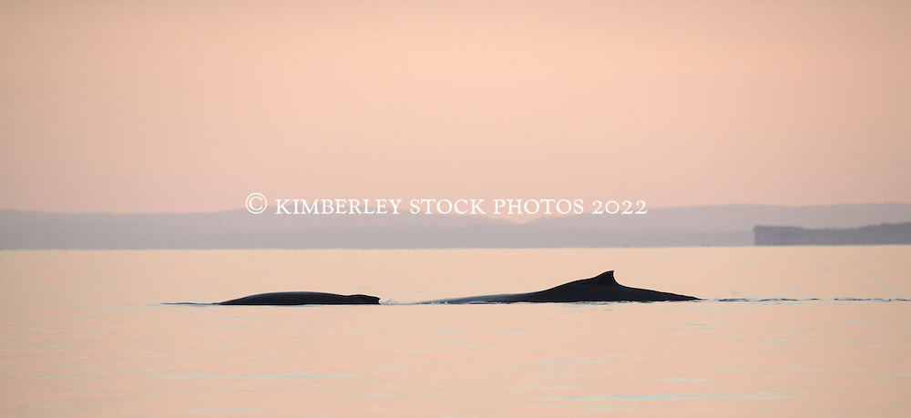A female humpback whale cow and calf in Camden Sound, early morning.