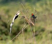 Scarlet-headed blackbird (Amblyramphus holosericeus) from Porto Jofre, Mato Grosso, Brazil.