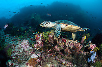 A Hawksbill Turtle in search of tasty morsel of sponge<br /> <br /> Shot in Indonesia