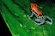 Reticulated Poison Frog (Dendrobates reticulatus) in jungle at night - Amazonia, Peru