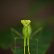 Hierodula sp. mantis nymph at Khao Ang Rue Nai wildlife sanctuary, in Chachoengsao province, Thailand