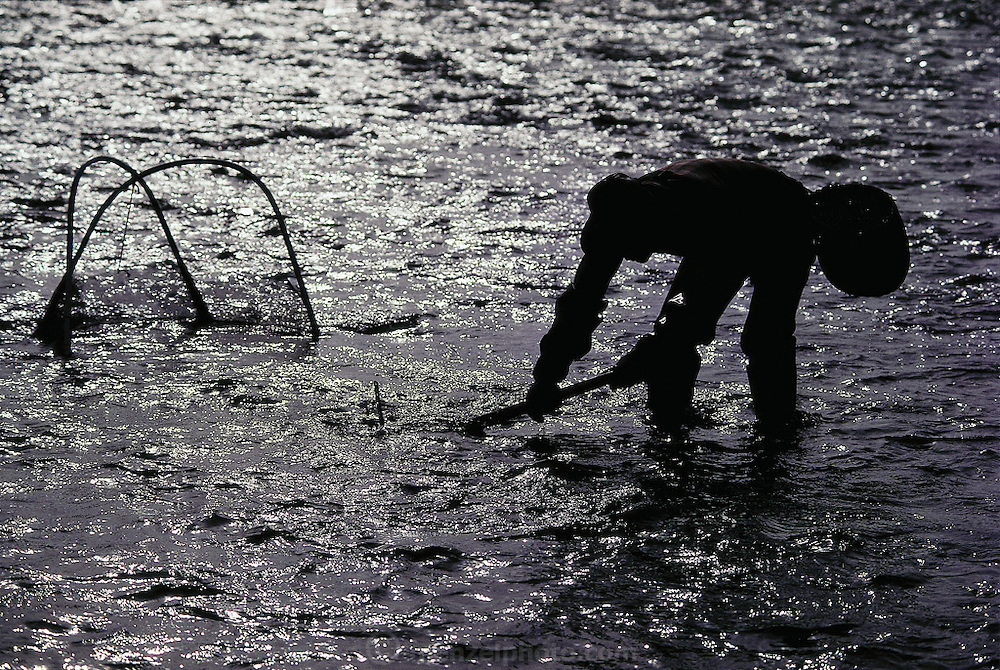 Licensed zaza-mushi fisherman Kazumi Nakamura nets the larvae of the aquatic caddis fly which he later cooks by boiling, cleaning, and sautéing with soy sauce and sugar; the zaza-mushi are at the peak of their culinary quality when harvested from the coldest waters of the Tenru River in December and January, Ina City, Japan. (Man Eating Bugs page 32,33)