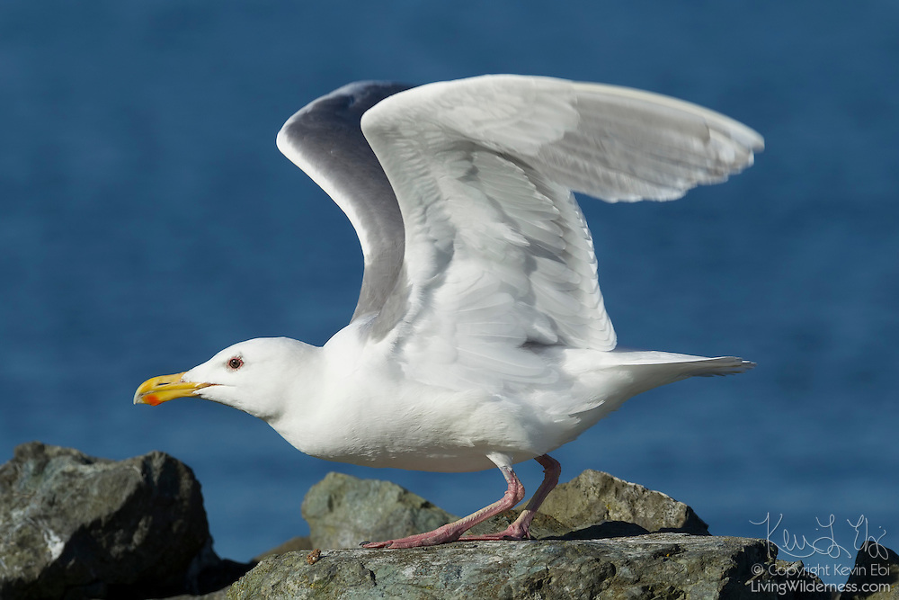 A western gull (Larus occidentalis) takes off from its rocky perch on Jetty Island near Everett, Washington. Most adult gulls have red spots at the tips of their bills; newborn chicks peck at that spot to get the adult to regurgitate food for it to eat.