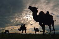 Mongolei, MNG, 2003: Kamel (Camelus bactrianus). Silhouetten einer kleinen Gruppe unter einer sich öffnenden Regenwolke, kurz nachdem sie sich abgeregnet hat. Regen ist sehr ungewöhnlich für die südliche Gobi. | Mongolia, MNG, 2003: Camel, Camelus bactrianus, silhouettes of a little group under a opening cloud cover after raining, rain is very unusual for this region, South Gobi. |
