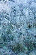 Hoar frost creating sculptural frosty grasses in winter landscape in Swinbrook in the Cotswolds, England, UK