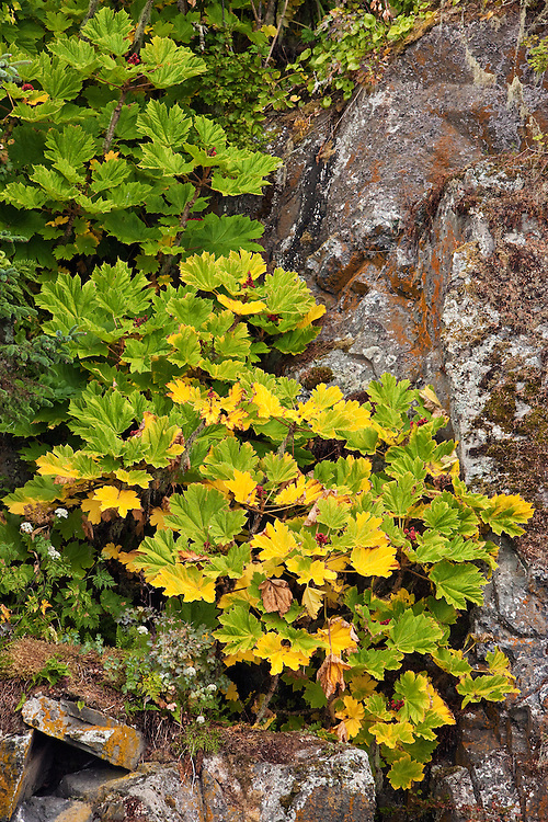 Ripened red berries contrast with the yellow and green leaves of Devil's Club as the plant drapes down a cliff on Sail Island in Frederick Sound in the Inside Passage of Southeast Alaska. Summer. Afternoon.