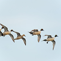northern pintail courtship flight, above eye level, blue sky