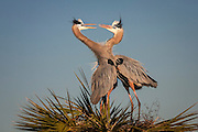 A pair of Great Blue Herons engaged in beak clapping as part of their mating ritual at Viera Wetlands