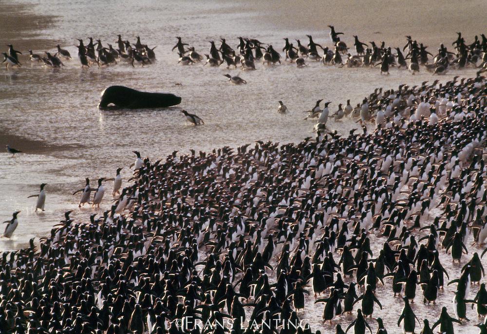 South american sea lion, Otaria flavescens, attacking gentoo penguins, Pygoscelis papua, Falkland Islands