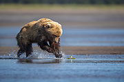 This juvenile female brown bear seemed to be having fun running around the tidal mud flats. Repeatedly, she would run one way then stop for a few seconds then take off in a new direction. This photo was taken right before she pounced on the leaf.