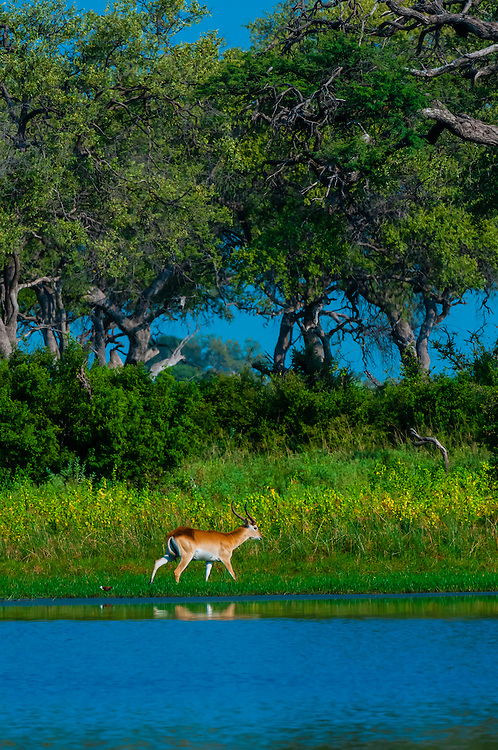 Red lechwe (antelope), Kwando Concession, Linyanti Marshes, Botswana.