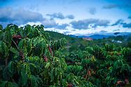 Coffee plantation between Lam Ha and Da Lat, Vietnam,  Southeast Asia