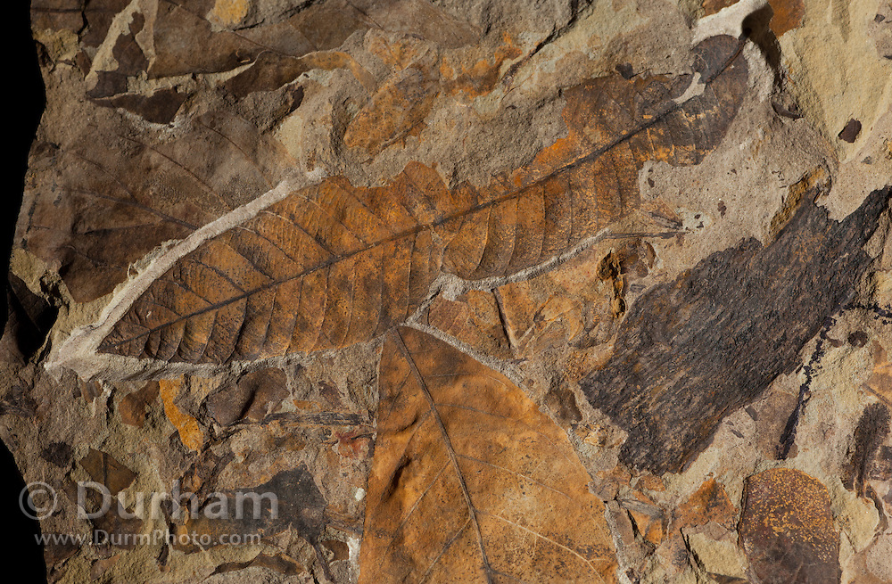 Plant debris and fossil leaves (Fagacaea - oak/beech family) preserved in rock. 44 million years old. John Day Fossil Beds, Oregon,