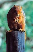 Red-bellied Coast Squirrel, Paraxerus palliatus frerei, eating breakfast at Shimba Hills National Reserve, Kenya, Africa
