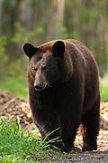 USA, Vince Shute Wildlife Sanctuary (MN).Black bear (Ursus americanus), cinnamon phase