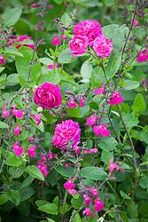Rose de Rescht (Shrub Rose) syn. R. 'De Resht' with Salvia microphylla 'Cerro Potosí' (Baby sage)