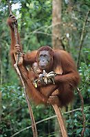 Orangutan embracing young in tree