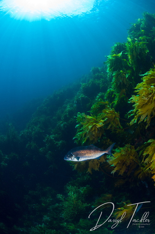 A blue moki hovers in the current above the kelp  at Alderman islands. New Zealand