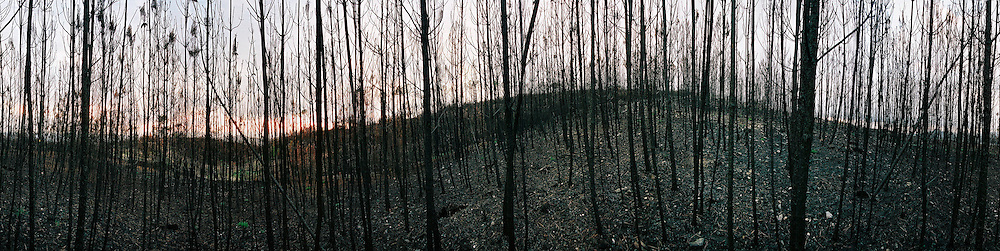 The remains of a pine forest after some of the most devastating fires in portuguese history, Portugal.