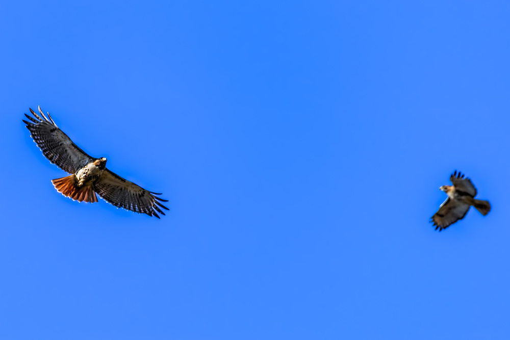 Red-tailed hawk soaring on the thermals