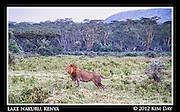 Lion at attention.Lake Nakuru, Kenya.September 2012