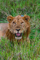 Male lion with radio collar, Queen Elizabeth National Park, Uganda.