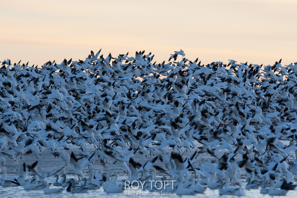 Flock of sandhill cranes, Grus canadensis, taking flight in winter.