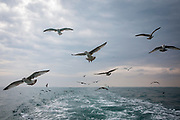 Seagulls follow the boat back to Folkestone Harbour. Terry and Luke are Folkestone based fishermen out trawling on a fishing trip in  the family boat Valentine (FE20), Hythe Bay, the English Channel, United Kingdom.(photo by Andrew Aitchison / In pictures via Getty Images)