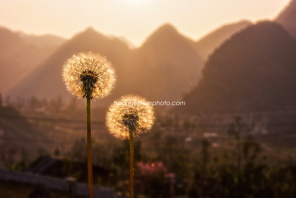 Vietnam Images-nature-flower-outdoor-Ha Giang -Hoàng thế Nhiệm
