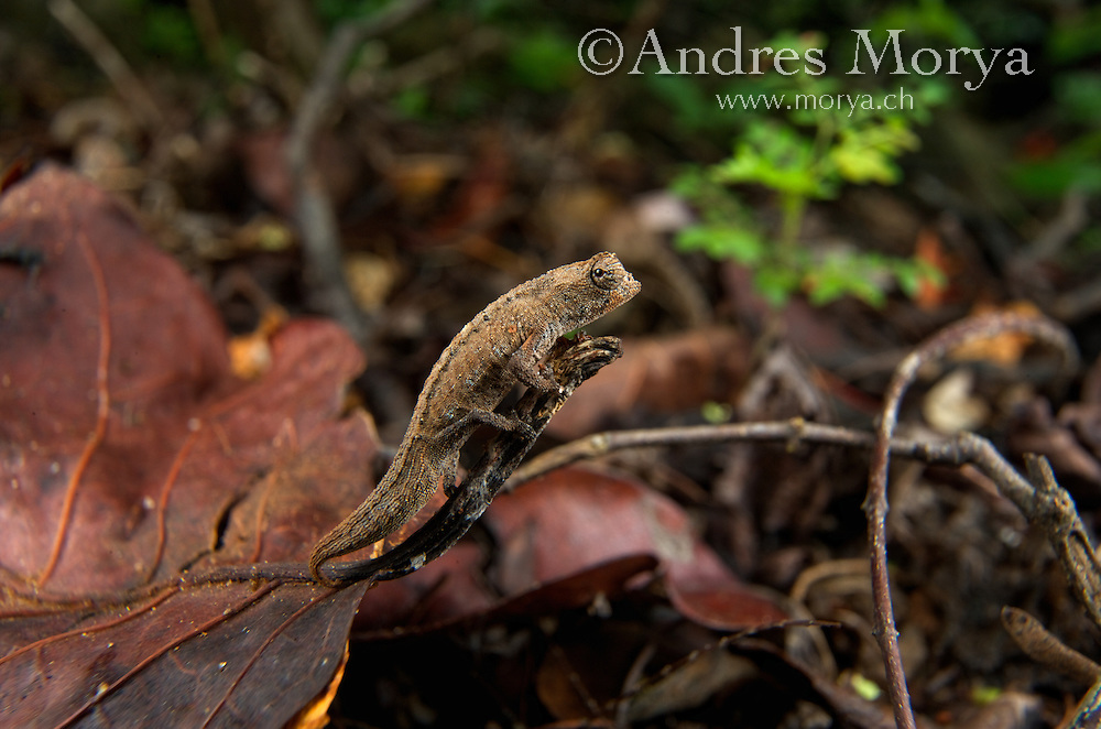 Stumped-tailed, Dwarf, or Leaf Chameleon (Brookesia tuberculata), Montagne des Français Reserve, Antsiranana, Northern Madagascar Image by Andres Morya