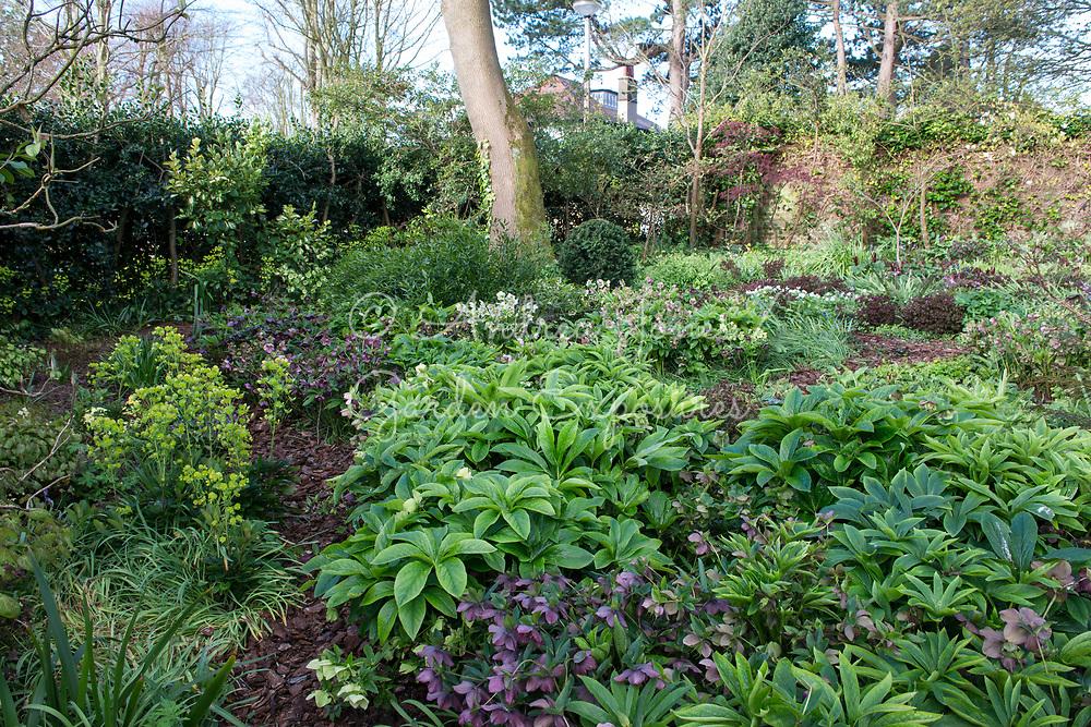 Spring woodland garden border including Helleborus cvs (hellebores) and Euphorbia amygdaloides var. robbiae (Wood spurge)<br /> <br /> <br /> Private garden, Lancaster, Lancashire, England