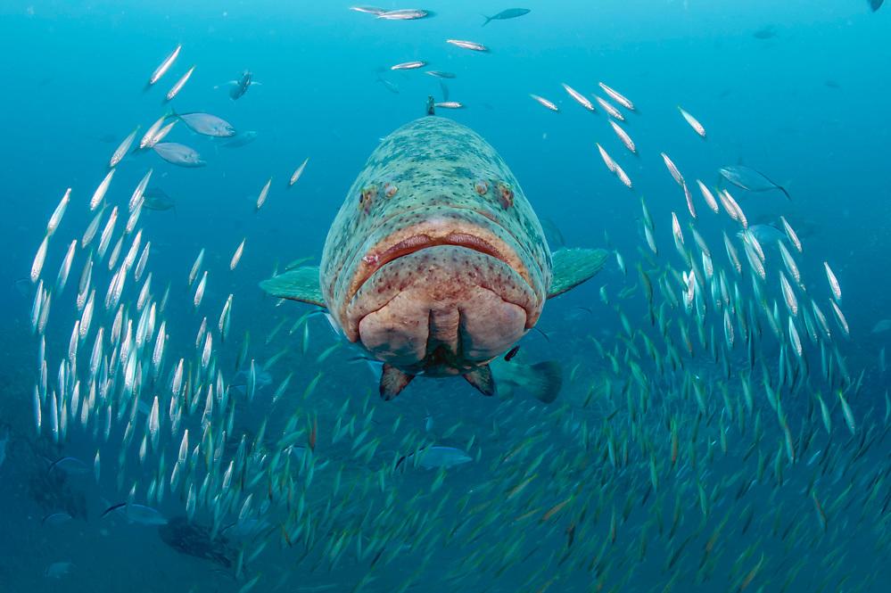 Goliath Grouper, Epinephelus itajara, and Cigar Minnows, Decapterus punctatus, swim near the shipwreck of the Mispah offshore Singer Island, Florida, United States.
